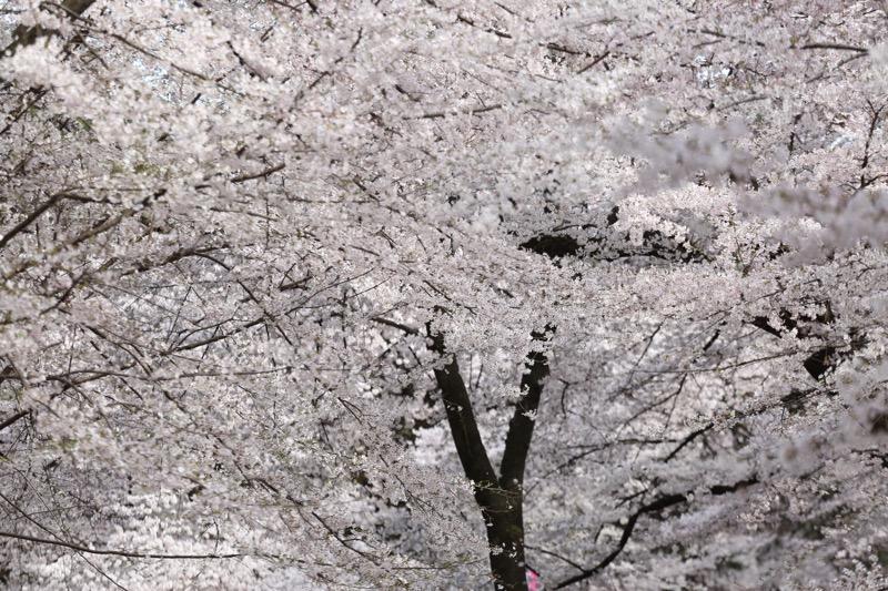大宮公園 お花見13