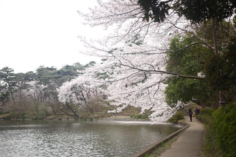 大宮公園 お花見10