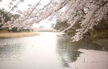 大宮公園 お花見4